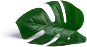 monstera-leaf